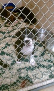 Otis-puppy